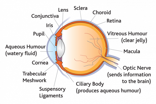 A diagram of the structure of the eye